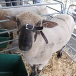 Sheep Exhibs